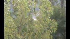 Elanion blanc en vol stationnaire dit 'St Esprit' sur Castelnau Rivière-Basse