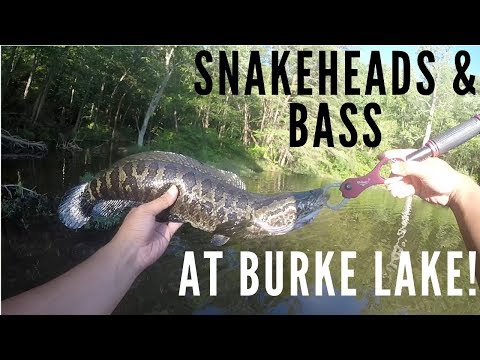 Bass & Snakehead At Burke Lake In Northern Virginia (Crazy Blowup!)