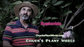Euphorbia's planting and gardening tips from Gardner, Plant Design Specialist, Chuck Schwartz