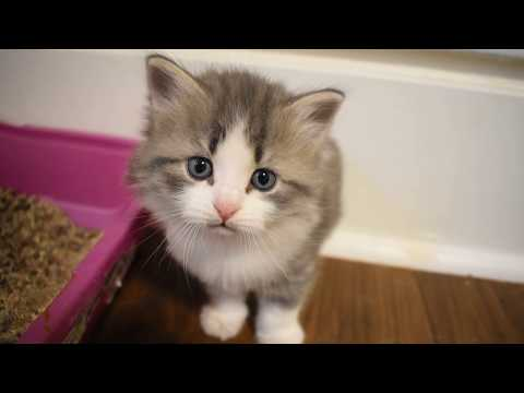 Siberian kittens New York