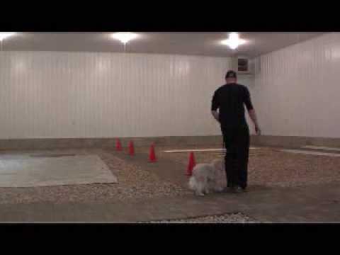 Cavachon Buddy - Dog Training Boot Camp Graduate