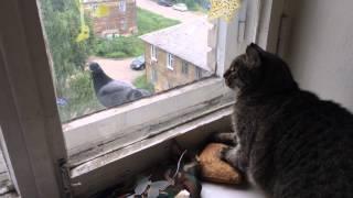 Кот и голуби. По ту сторону окна.