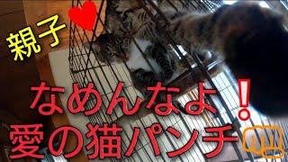 超可愛い虎猫親子の愛の猫パンチ  ♥ 僕だけを構って欲しい超大型犬BOSS...