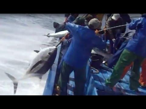 Tuna Fishing - Câu cá ngừ đại dương