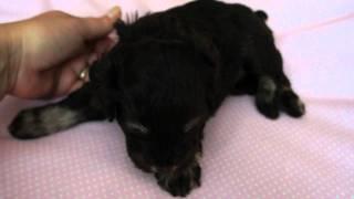 8-19-2011 A.k.c. Liver/tan Mini Schnauzer Puppy Nv