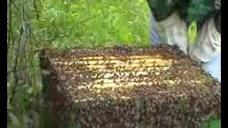 honey bees-roj pčela