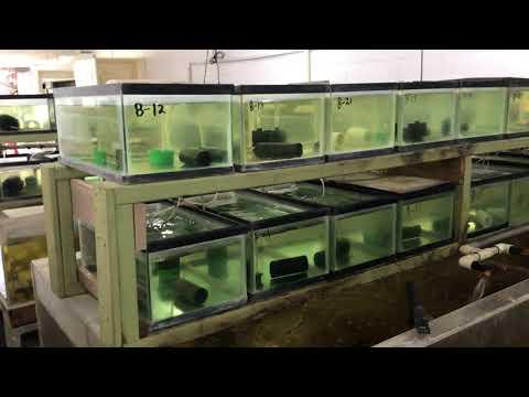 Australian Red Claw Crayfish Breeding Tanks