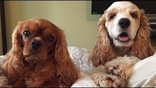 Cavalier King Charles Spaniel - Synchronized Eating Dog Trick