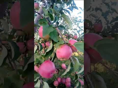 Сорт яблони Кандиль Орловский.