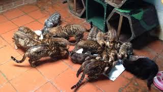 Bán Mèo Bengal Trại Lớn Nhất Hà Nội | Pham Nguyen Cattery | 083 235 6868