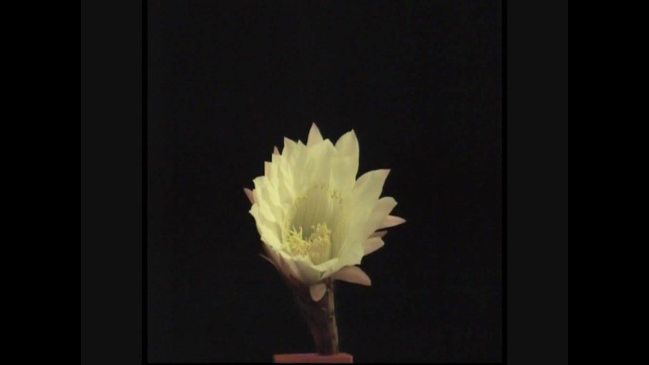 Fiore di cactus che sboccia youtube for Fiori che sbocciano