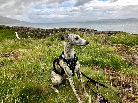 Living with a Whippet: Part two - Harnesses for a Whippet