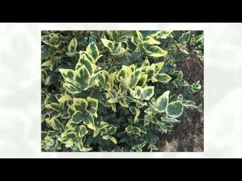 Растение бересклет – посадка и уход: фото бересклета