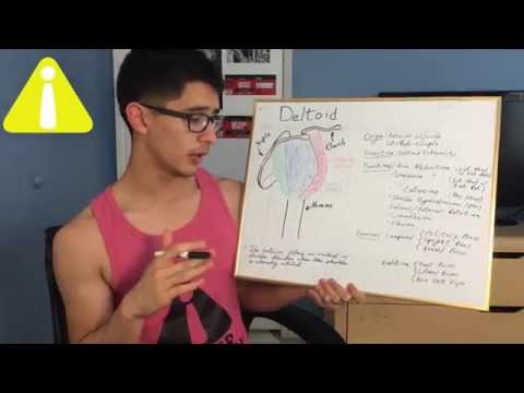 Deltoid (Muscle) Anatomy