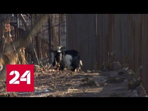 Умер козел Тимур - друг тигра Амура - Россия 24
