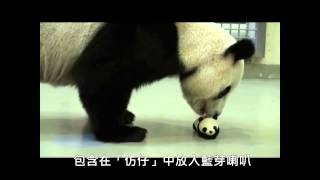 母女重逢 動物園步步為營 Carefully Steps for Giant Panda Baby Back to Mom