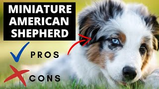 Miniature American Shepherd Pros And Cons   The Good And The Bad!!