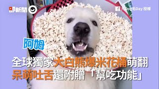 全球獨家大白熊爆米花桶萌翻天 呆萌吐舌還附贈「幫吃功能」