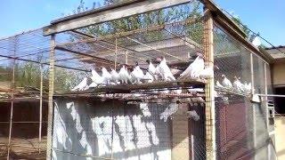 Полет красноголовых голубей