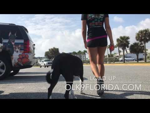 "1y Husky/ Border Collie Mix ""Jazz"" 