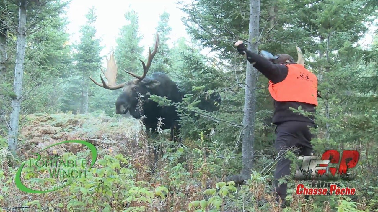 Video Guy Messes With Bull Moose Gets Very Lucky Outdoorhub