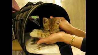 Котёнок-рысёнок Максимка)))