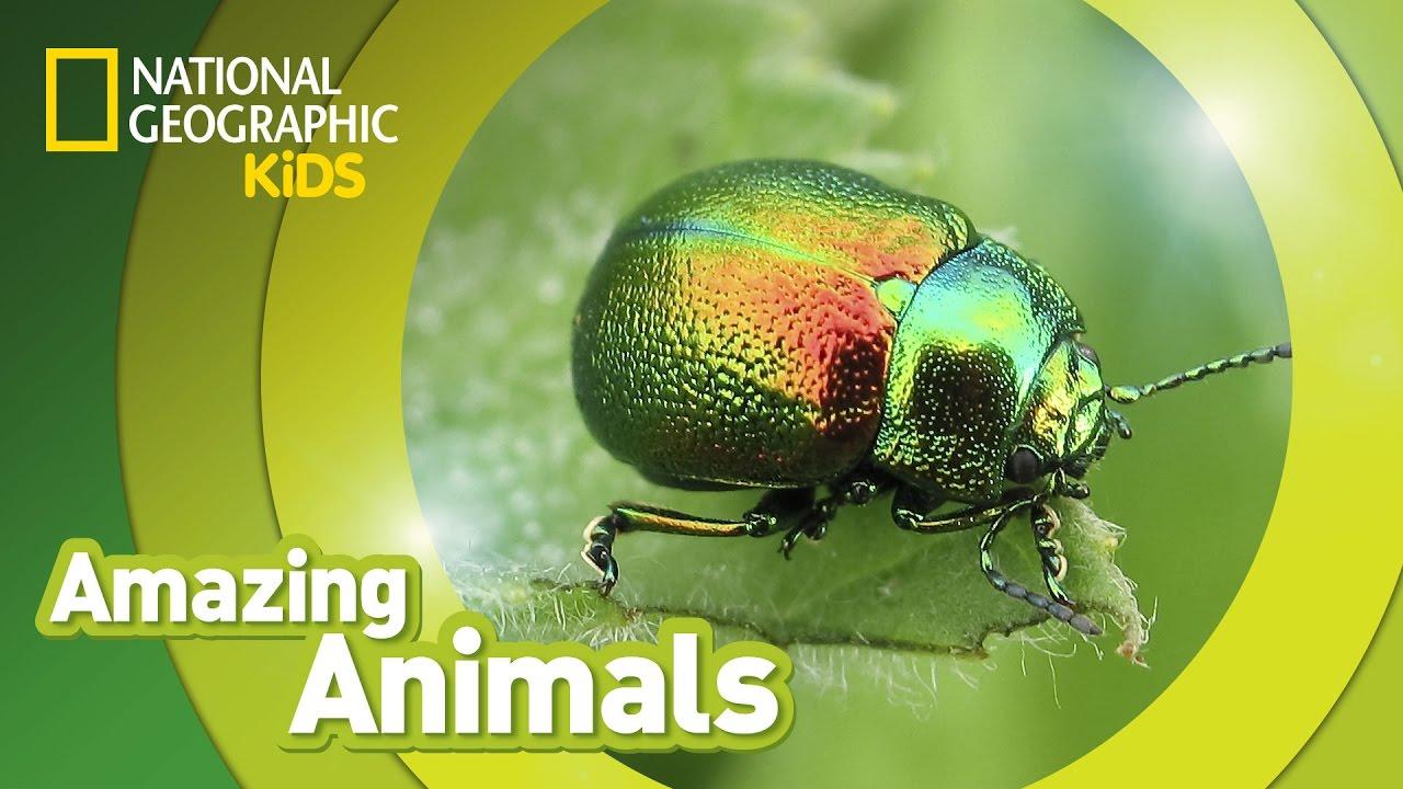 beetle amazing animals youtube