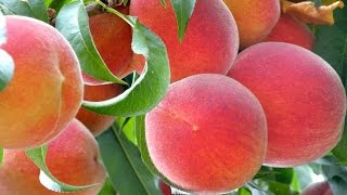 Hudson Farms Produces Quality Tree Fruit in the Central Valley