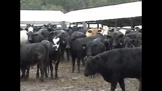 Hereford Brothers Farms CSY Sale 10-4-2012