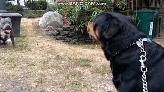Pitbull Vs Rottweiler ! Real Fight