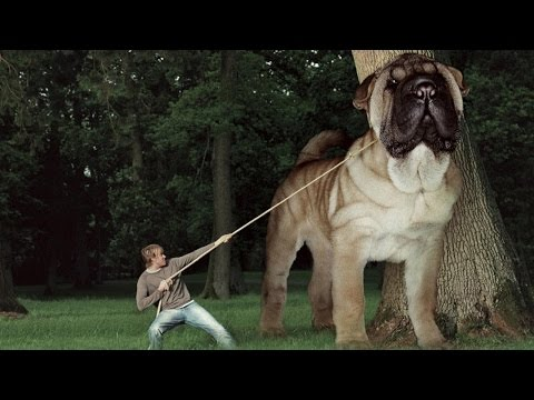 top-10-biggest-dogs-in-the-world---biggest-dogs-in-the-world