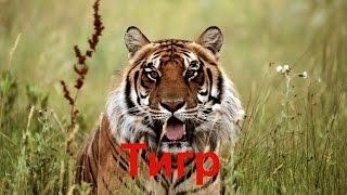 Тигр— вид хищных млекопитающих семейства кошачьих