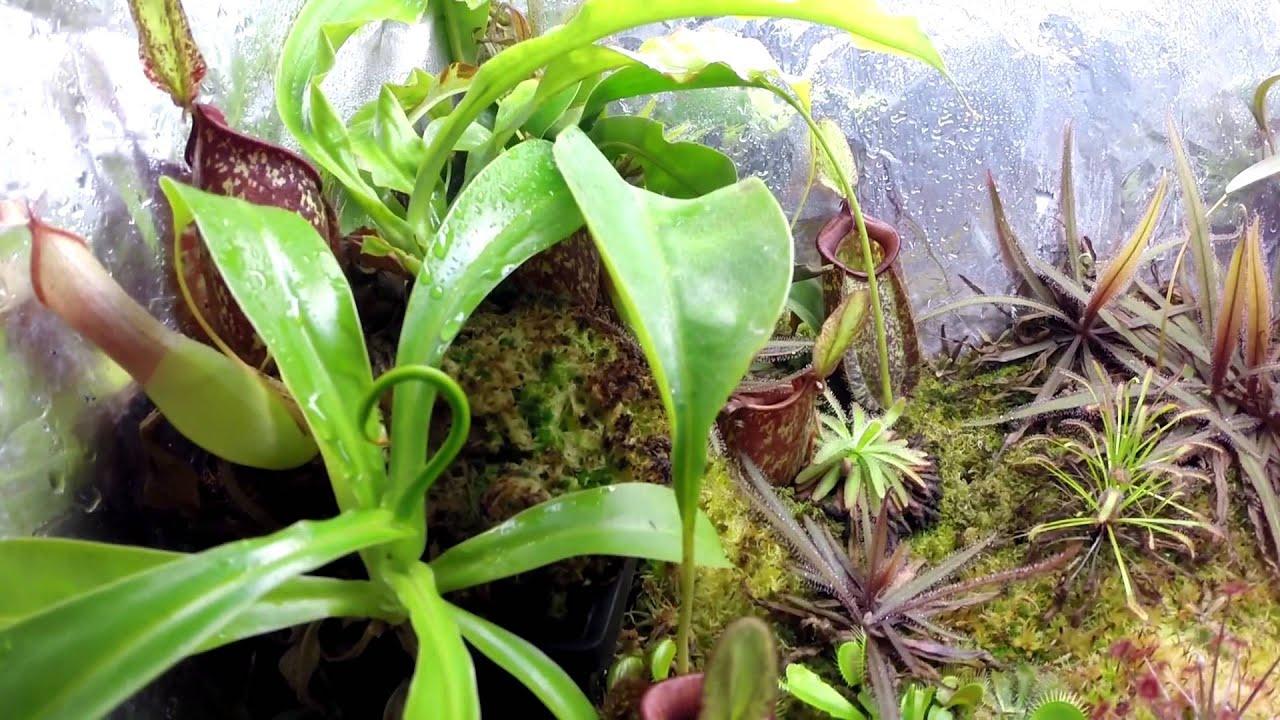 bonus 8 terrarium plantes carnivores youtube. Black Bedroom Furniture Sets. Home Design Ideas