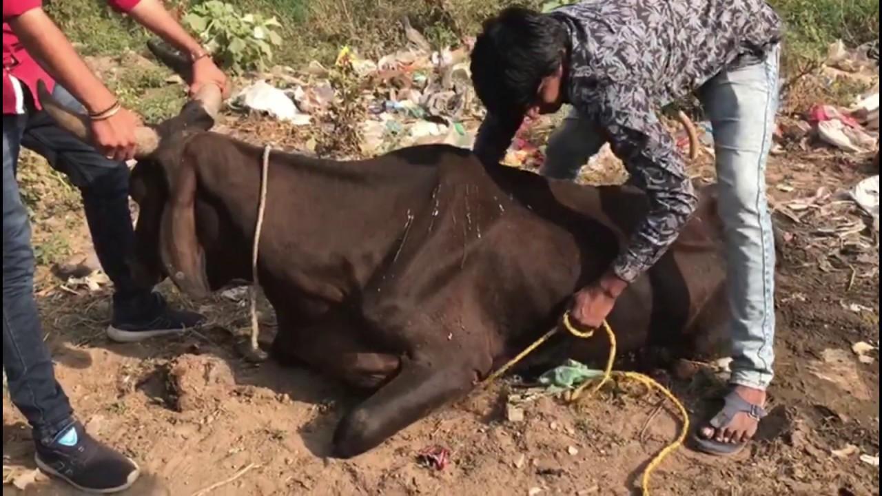 Injured broken leg Cow suffering with Maggot - YouTube