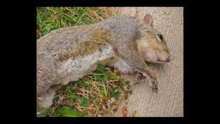 Squirrel Falls off Electric Pole After Biting Live Wire