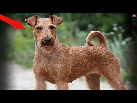 Один из самых бесстрашных и неутомимых видов собак. Терьер в деле.