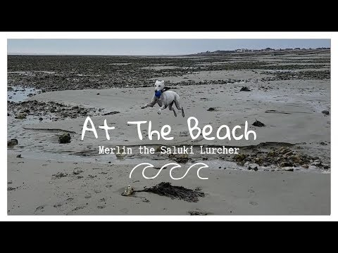 At The Beach 🌊   Merlin the Saluki Lurcher