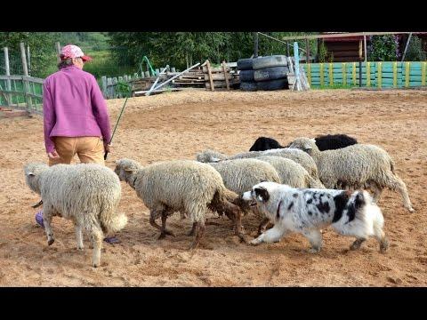 Пастушья работа австралийской овчарки с небольшим стадом овец