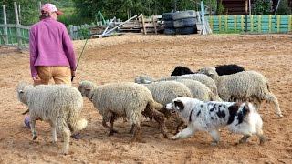 Пастушья работа австралийской овчарки с небольшим стадом овец(Работа австралийкой овчарки по кличке