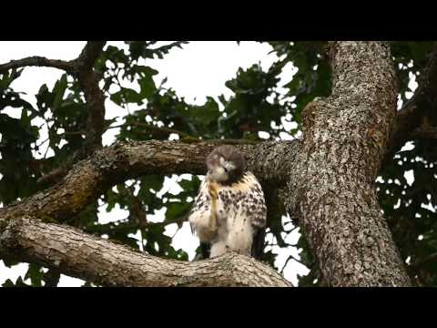 LITTLE HAWK GETS READY FOR BED SO CUTE