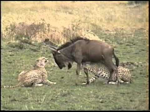 Cheetah brothers hunt and kill a wildebeest