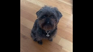 AWESOME AFFENPINSCHER DOGS FOR YOUR ENTERTAINMENT