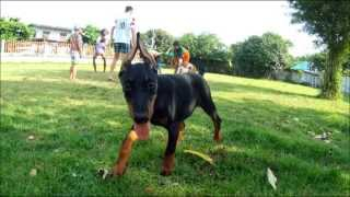 Doberman  - Dogs And Kids Playing In The Garden_1