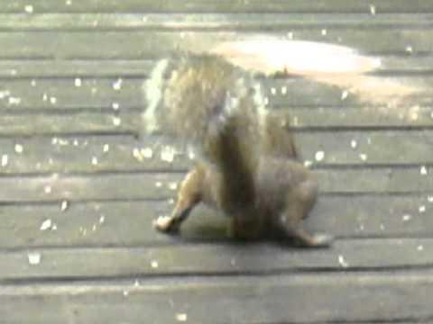 Big Balls Squirrel 5259