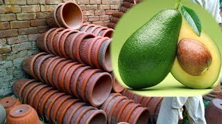 lose weight with avocados
