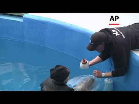 US aquarium cares for abandoned beluga calf