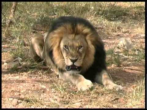 Lion - South Africa Travel Channel 24