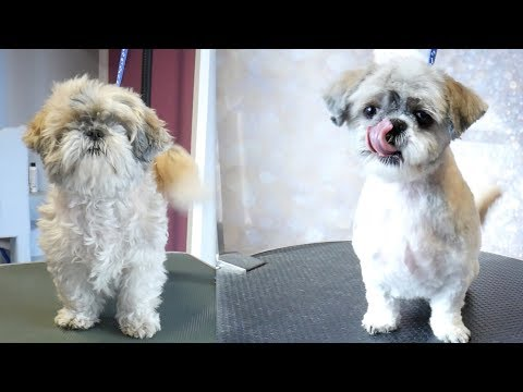 Grooming Guide - Full Grooming Shih Tzu Short Cut #52