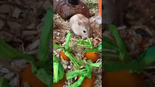수제 치즈 먹는 아기 햄스터   Hamster eati…