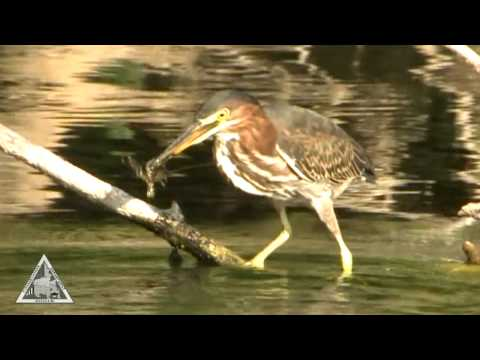 If Wildlife Could Talk -- Green Heron  (wt-008)